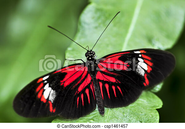 Red heliconius dora butterfly - csp1461457