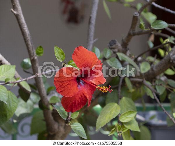 Red hibiscus flower - csp75505558