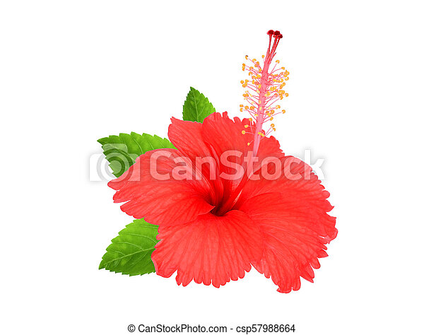 red hibiscus flower with green leaves isolated on white background - csp57988664