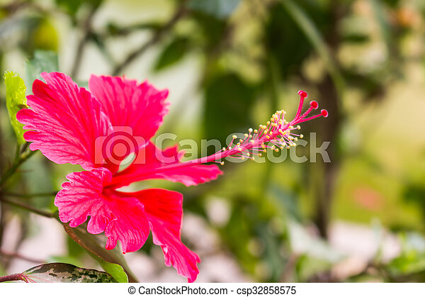 Red hibiscus flower with yellow stamen in bloom background red hibiscus flower with yellow stamen in bloom csp32858575 mightylinksfo