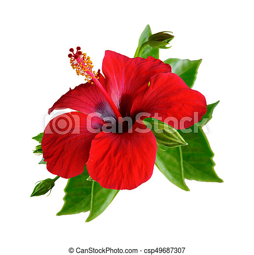 Red Hibiscus Flowers Isolated Red Hibiscus Flowers Isolated Set