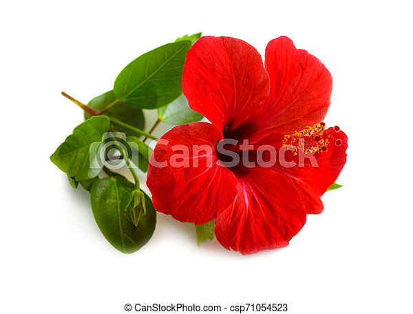 Red Hibiscus known as rose mallow. Other names include hardy hibiscus, rose of sharon, and tropical hibiscus. Isolated - csp71054523