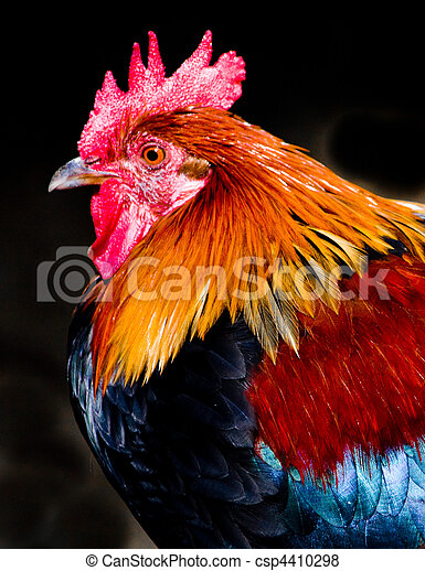 Red jungle fowl,