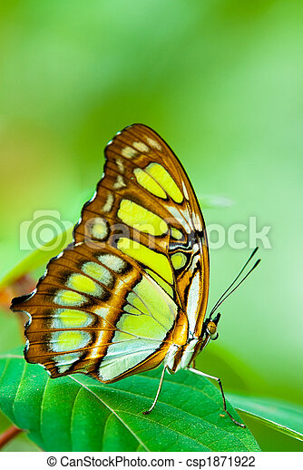 red lacewing butterfly - csp1871922