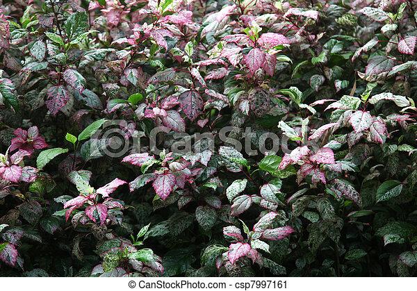Leaves Of Hibiscus Acetosella Or Hibiscus Eetveldianus Also Called