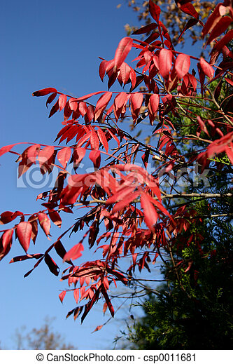 Red leaves in fall - csp0011681