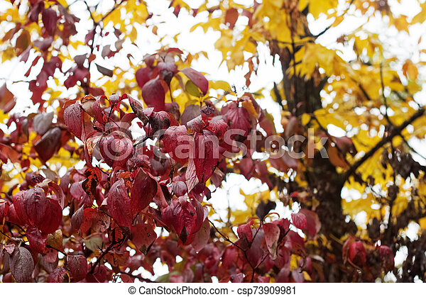 Red leaves on tree branches with dew drops - csp73909981