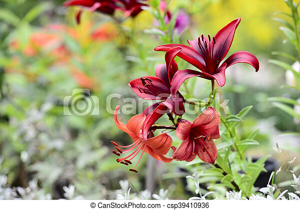 red lily in a sunny garden - csp39410936