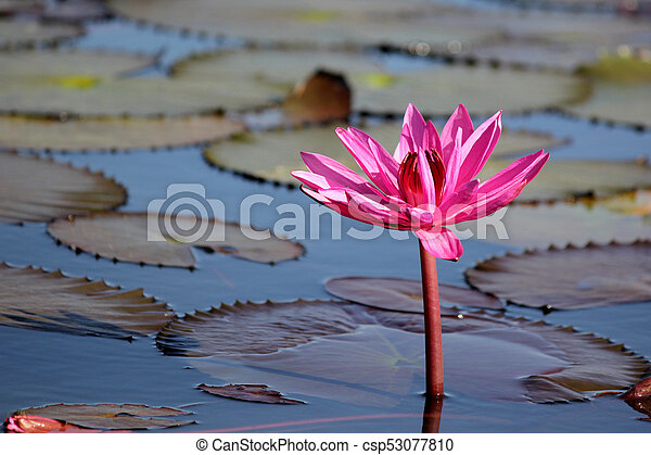 Beautiful red lotus flower in the pond red lotus flower in the pond csp53077810 mightylinksfo