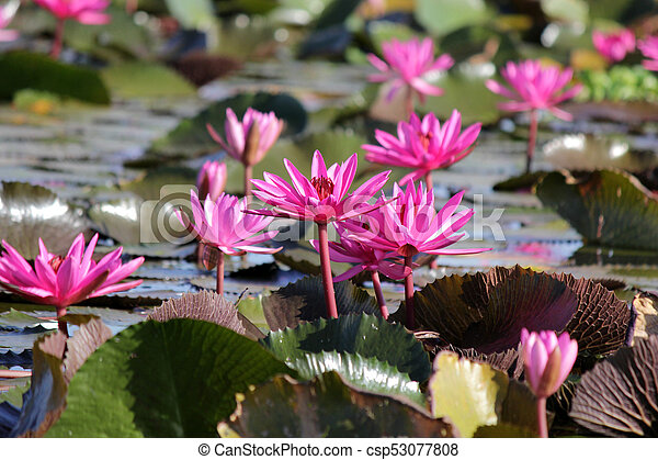 Beautiful Red Lotus Flower In The Pond