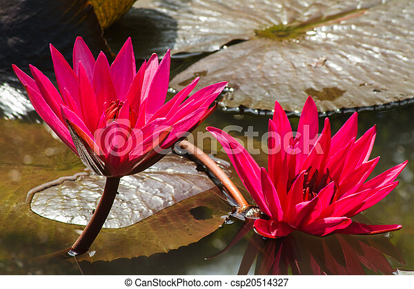 Red Lotus Flower In Pond
