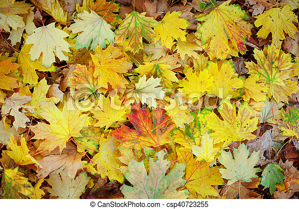 Red maple leaves, golden autumn - csp40723255