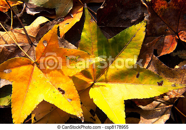 Red maple leaves, golden autumn - csp8178955