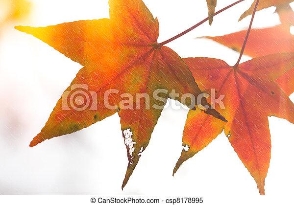 Red maple leaves, golden autumn - csp8178995