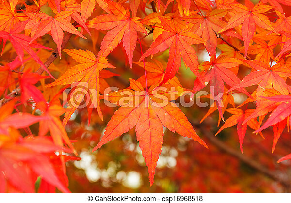 Red maple leaves - csp16968518