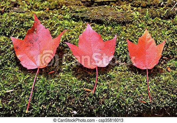 Red Maple Leaves - csp35816013