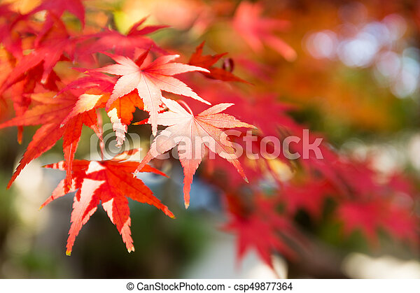 Red maple leaves - csp49877364