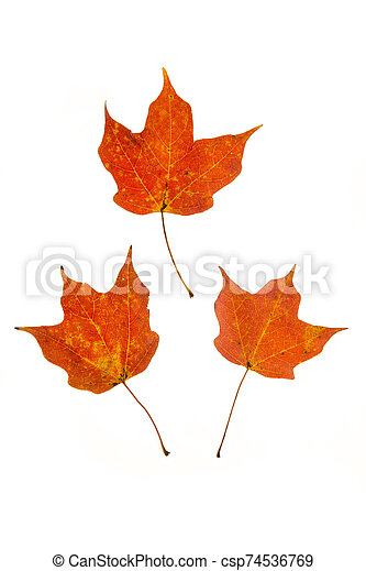 Red Maple Leaves - csp74536769