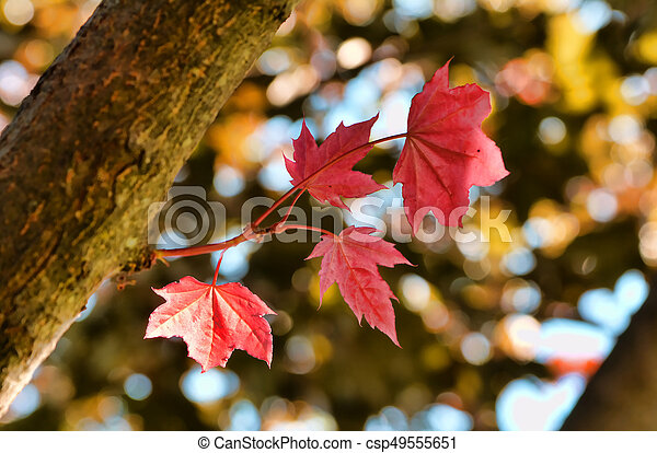 Red Maple Leaves - csp49555651