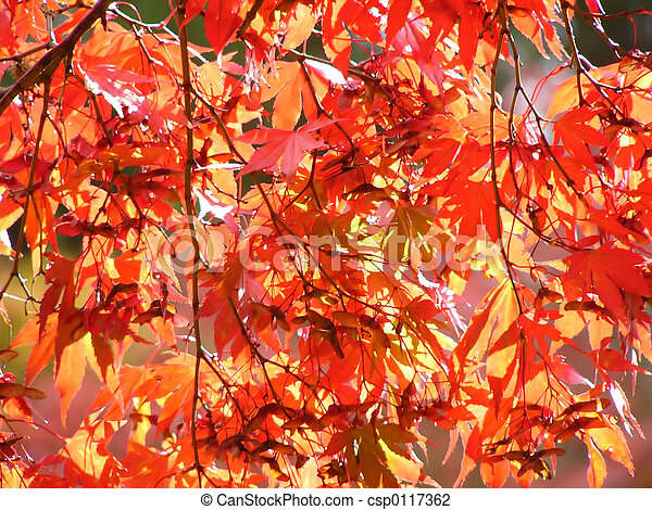 red maple leaves - csp0117362