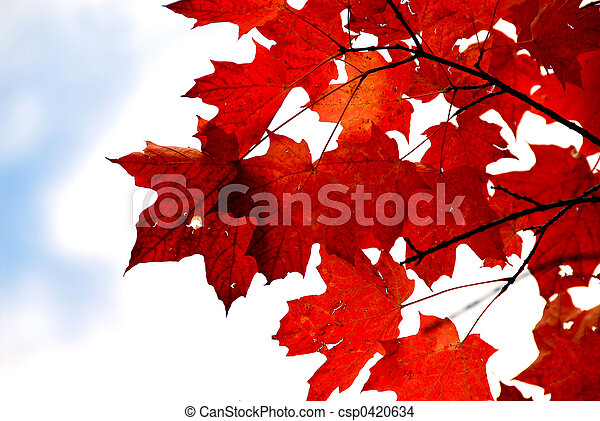 Red maple leaves - csp0420634