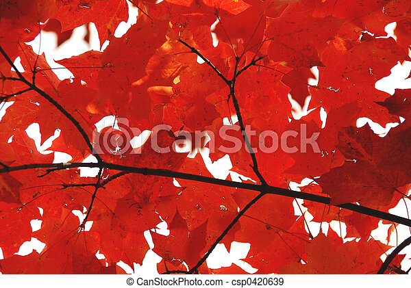 Red maple leaves - csp0420639