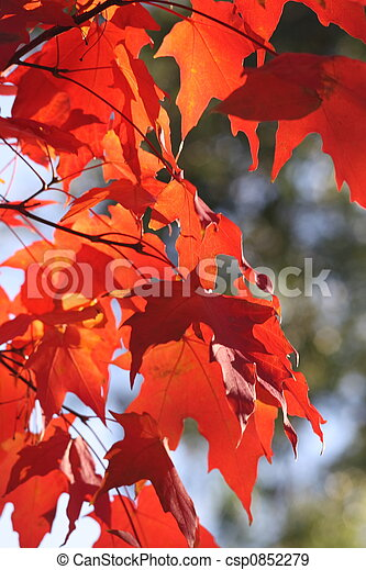 Red Maple Leaves - csp0852279