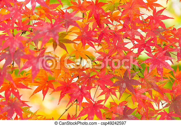 Red maple leaves - csp49242597
