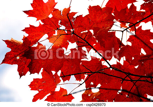 Red maple leaves - csp0426970