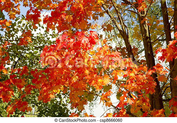 Red maple leaves - csp8666060