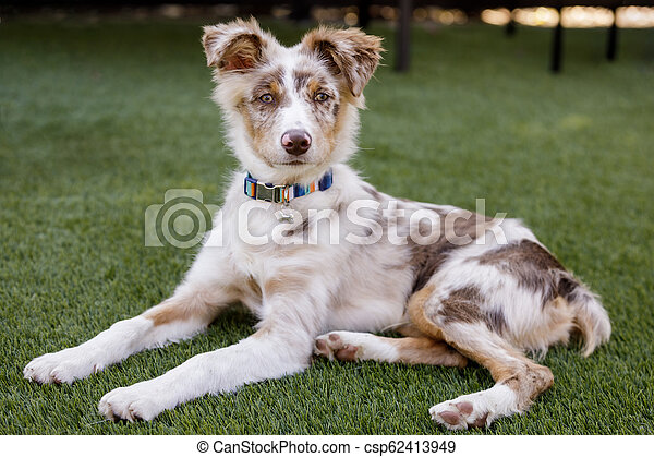Red Merle Australian Shepherd Puppy lying down and looking at camera