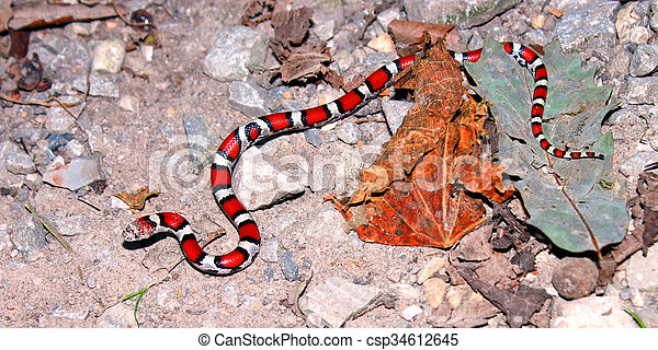 Red Milk Snake Illinois Wildlife - csp34612645