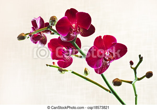 Red Moth Orchid or Phalaenopsis flowers - csp18573821