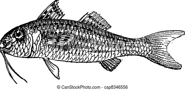 red mullet or surmullet isolated on white background clip art rh canstockphoto com Mullet Silhouette mullet hair clipart