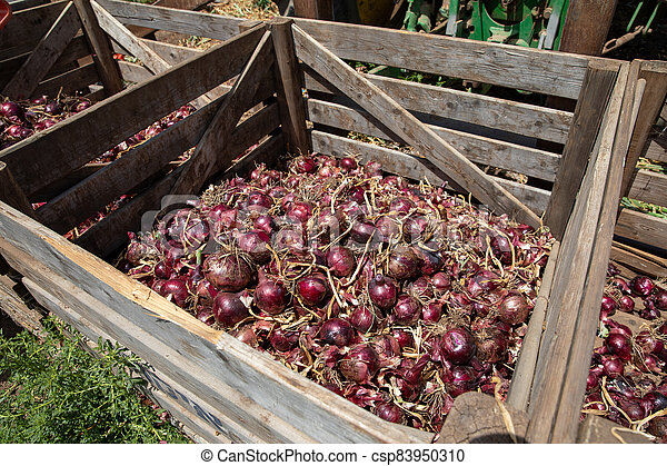 Red onions in a Wooden Crates in a field. - csp83950310