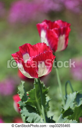 Red opium poppy flower in chiang mai thailand stock image search red opium poppy csp33255465 mightylinksfo Gallery