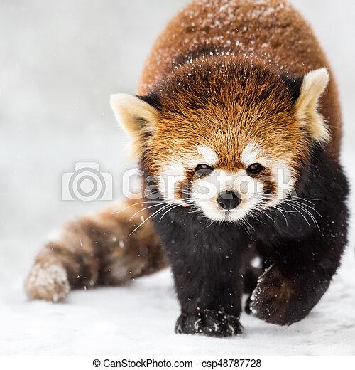 Red Panda in Snow II - csp48787728