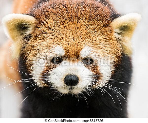 Red Panda in Snow III - csp48818726