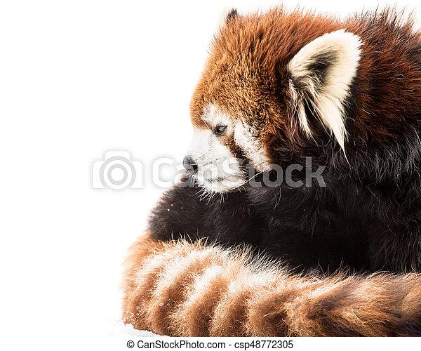 Red Panda in Snow - csp48772305