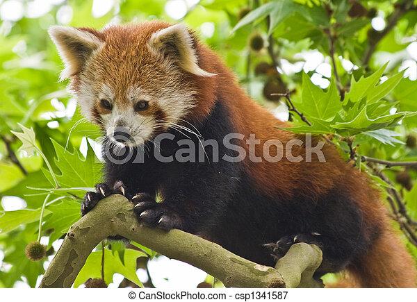 Red Panda - csp1341587