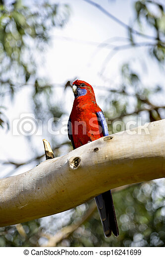 Red parot on the tree2 - csp16241699