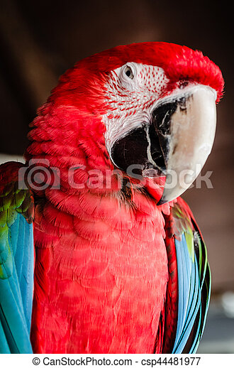 Red Parrot Macaw - csp44481977