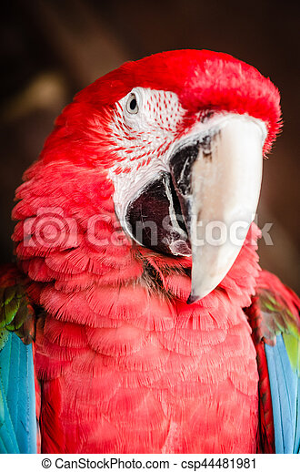 Red Parrot Macaw - csp44481981