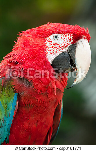Red Parrot - csp8161771