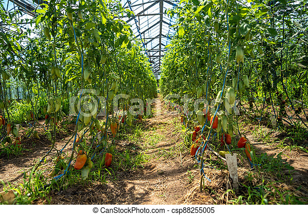 red peppers grown in a greenhouse on an organic farm - csp88255005