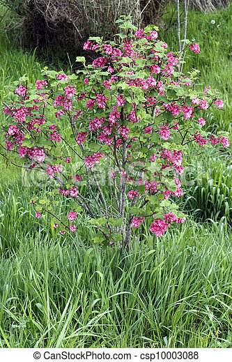 Red Pink Flowering Currant Beautiful Shrub With Pink Blossoms Of