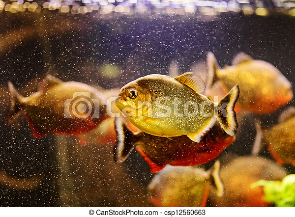 Red piranha (Serrasalmus nattereri) swimming underwater - csp12560663