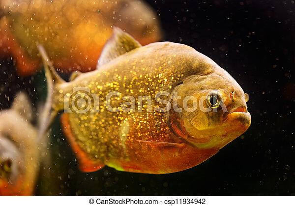 Red piranha (Serrasalmus nattereri) swimming underwater - csp11934942