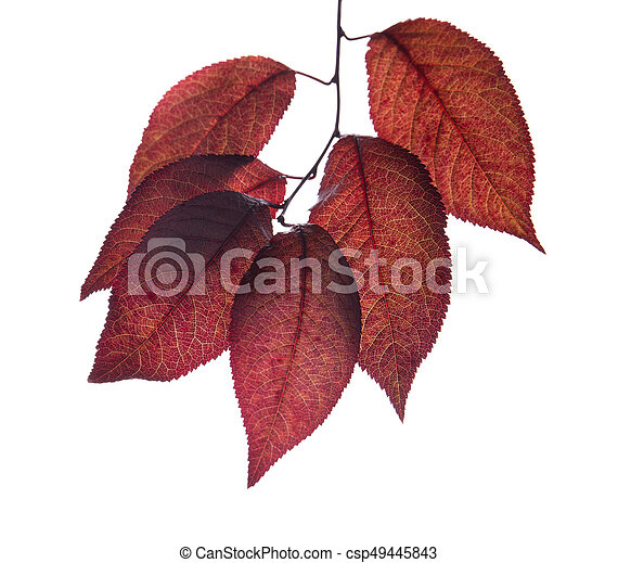 Red Plum Leaves Isolated On A White Background Purple Leaf