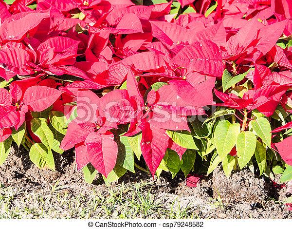 Red poinsettias in a garden - csp79248582